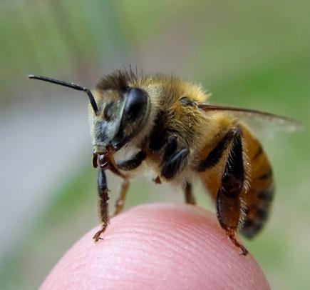 Proteinet vitellogenin regulerer sosialt liv, helse og livslengde hos bier.