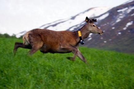 Ved  ligge i forkant av vren kan hjort sikre seg mer nringsrik mat.