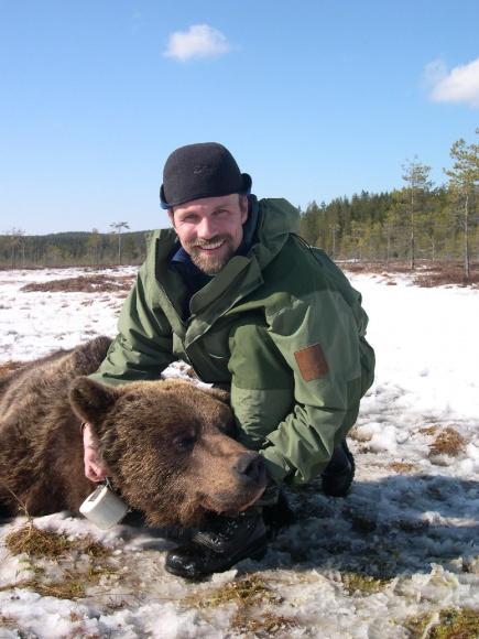INA-forsker Ole Gunnar Sten radiomerker brunbjrn (det skandinaviske bjrneprosjektet).