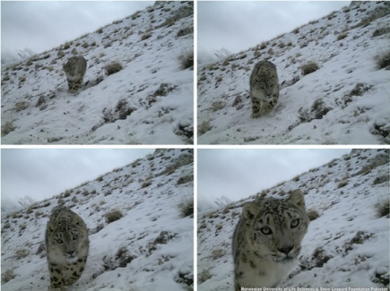 Sequence of photos of a snow leopard captured with camera traps in northern Pakistan.