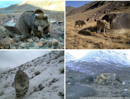 Photos of wildlife captured with camera traps in the mountains of northern Pakistan. Clockwise from top left: brown bear, grey wolf, red fox, and snow leopard.