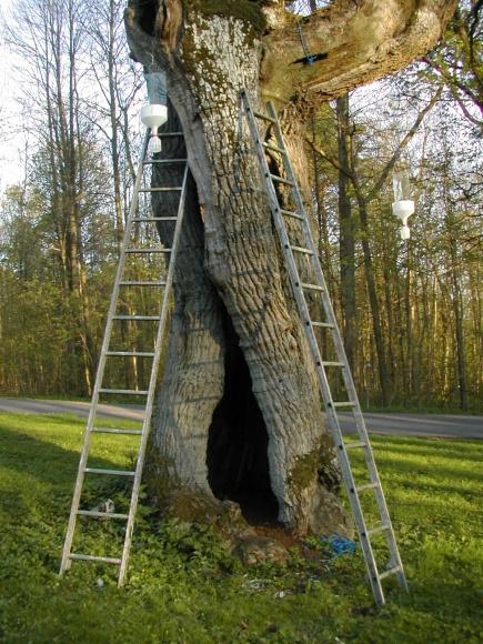 Stammen i hule eiker er bosted for mange truede arter.
