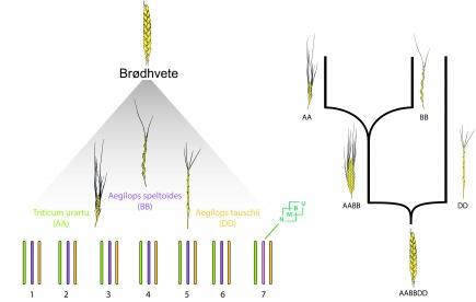 Brdhvetens genom. Til venstre: Brdhvetens kromosomer fra tre ulike nrt beslektede arter. Triticum urartu, Aegilops speltoides, Aegilops tauschii er de nrmest beslektede artene til brdhvetens tre kromosomsett. Til hyre: De to naturlige hybridiseringene som er opprinnelsen til brdhvete.