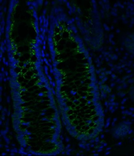 Anti-ALP (green) and nucleus (blue) double-stained enterocytes in human normal colon