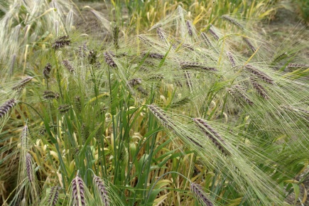 HGTYTANDE BYGG: Byggsorten Himblil. BARLEY: The barley with the most yielding variety proved to be Himblil.