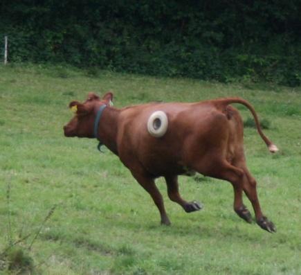 Fistula cow at full tilt