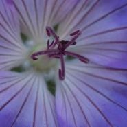 Geranium, blomst
