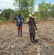 Conservation agriculture with mulching.