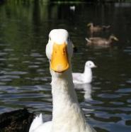 Noen av de fastboende i dammen kan vre ganske nebbete.
