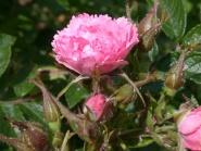 Pink Grootendorst, buskrose, rosa nellikrose.