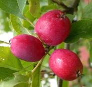 Fruktene hos M. Dolgo er bde vakre og spiselige.<br />