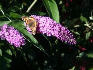 Sommerfuglbusk med sommerfugl
