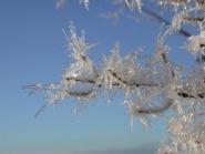 Fagerbusk i frost