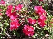 Rhododendron, Scarlet Wonder