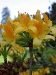 Gul rhododendron
