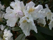 Rhododendron, Cunninghams White
