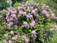 Rhododendron, Catawbiense Grandiflorum
