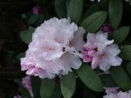 Yakushima rhododendron
