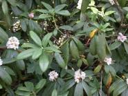 Fujiyama  rhododendron