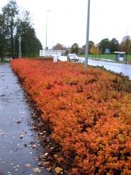Bjrkebladspirea har flotte hstfarger i oransje og rdt.<br />